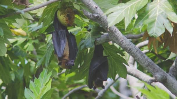 Eine indische Flughund Pteropus Giganteus, lecken seinen Mund mit ihrer langen Rosa Zunge nach ein leckeres Brot Obst essen, hängen neben andern auf einen Obstbaum Brot auf den Malediven