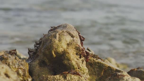 Skupina maledivské společné krabů, Grapsus Albolineatus, na skalách s přílivem přichází při západu slunce