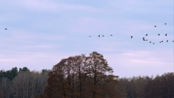 Graugänse fliegen an einem Wintertag bei Sonnenuntergang in v-förmiger Wanderformation über Bäume.