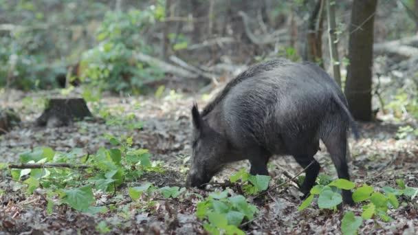 Nő vaddisznó ásni az élelmiszer és a pofa a puha erdei talajban borított lombozat, míg a farok csóva.