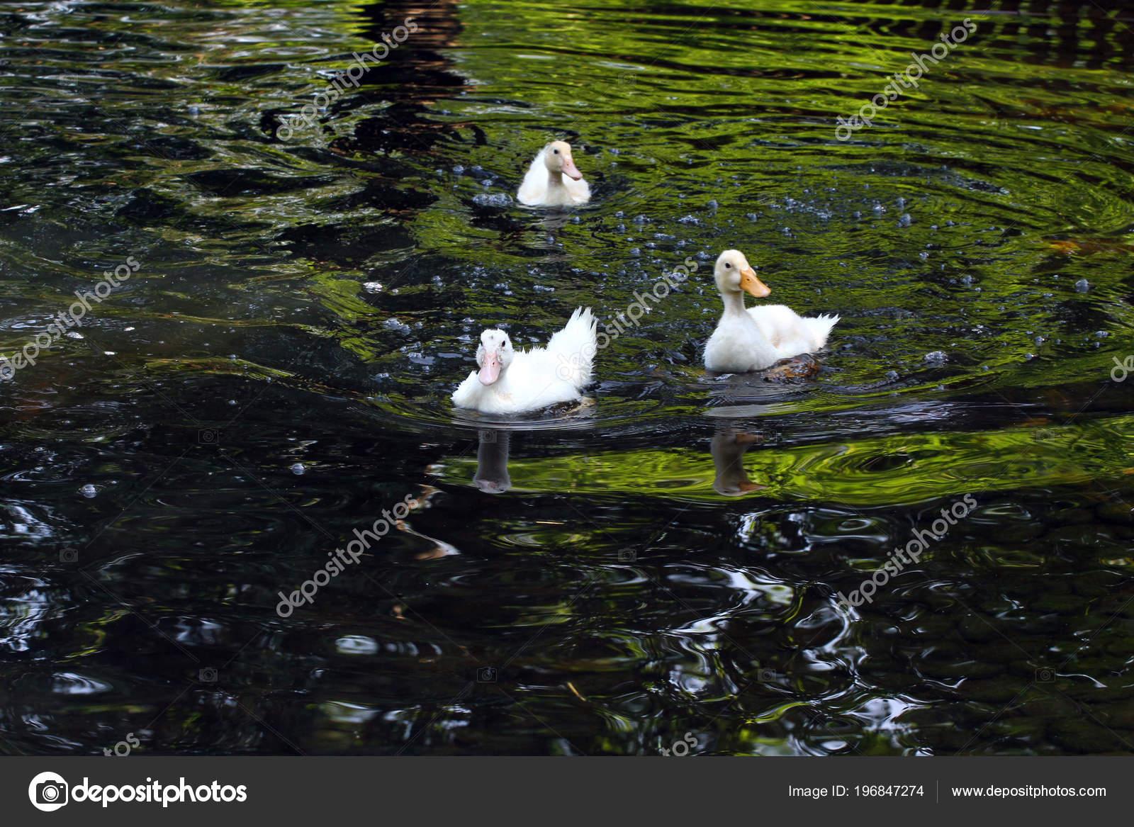 Pato Branco Patos Fundo Animal Cute Natureza Penas Bico