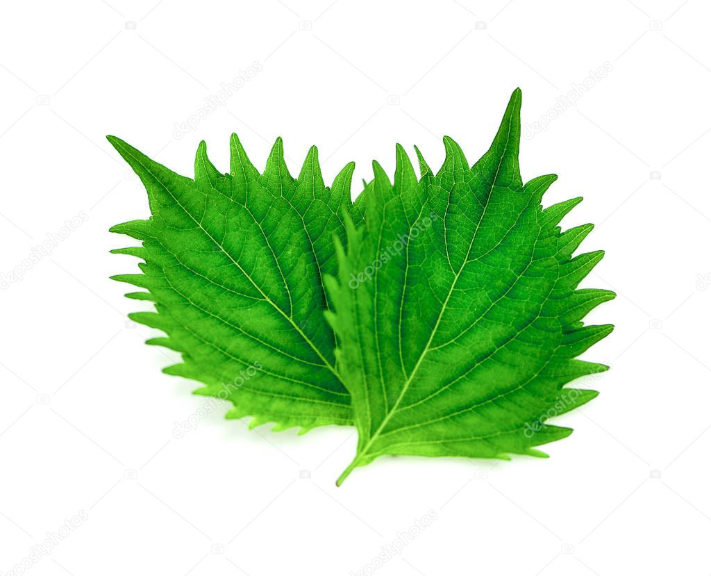 fresh green shiso leaf isolated on a white background