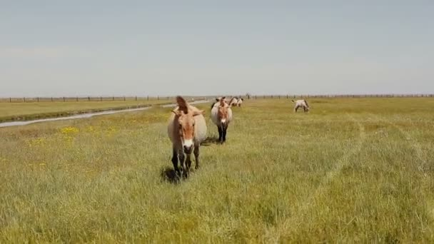 Przewalski horses are grazing in the steppe. Wild horses are eaating green grass.