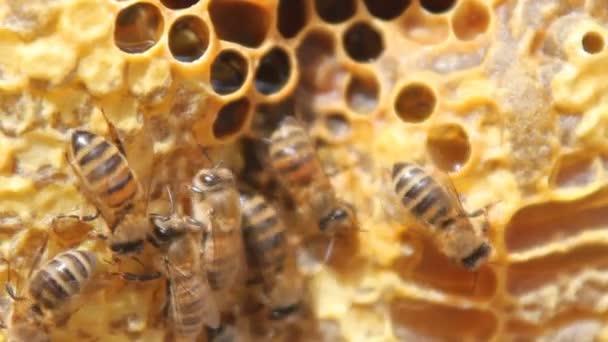 Včely nektar převést medu. Closeup včel na plástve ve včelařství