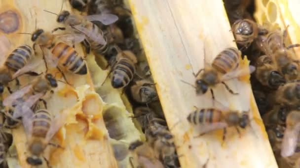 Bees build honeycombs and convert nectar into honey. closeup of bees on honeycomb in apiary