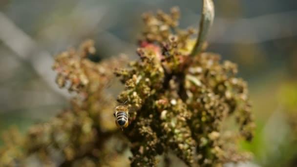 Bee összegyűjti nektárt a virágzó egzotikus növények a Kanári-szigeteken. Közeli megjelöl-ból egy repülő méh-ban extra lassú jelet ad
