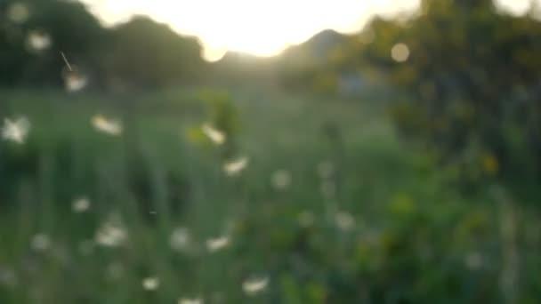 Zeitlupe. Löwenzahnsamen vom Wind gegen grünes Gras und blauen Himmel geweht und verstreut.