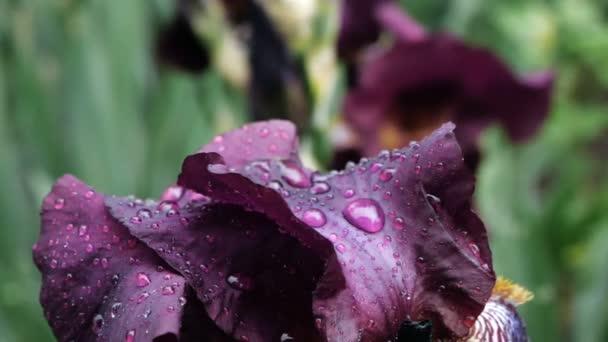 Po dešti na jarním vánku se blíží kapky vody na temně purpurově burgundské květináči.