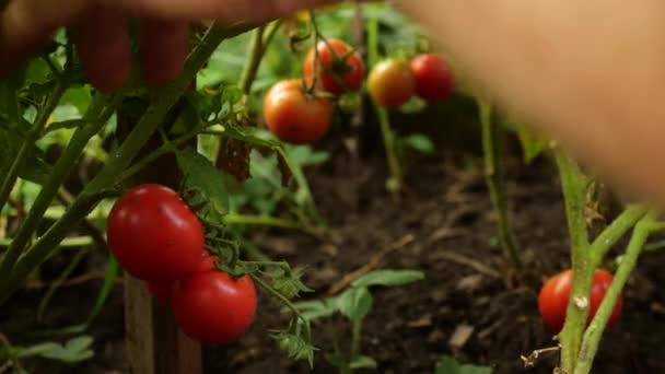 Zemědělec sklízí čerstvá zralá rajčata, která opouštějí zelený závod. Manná ruka vybírá čerstvá rajčata.