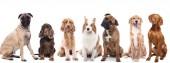 Fotografie Gruppe von Hunden auf weißem Hintergrund
