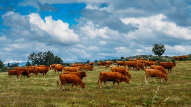 Barrosa cow as a part of a herd of barrosa cows in Northeastern Portugal, Europe