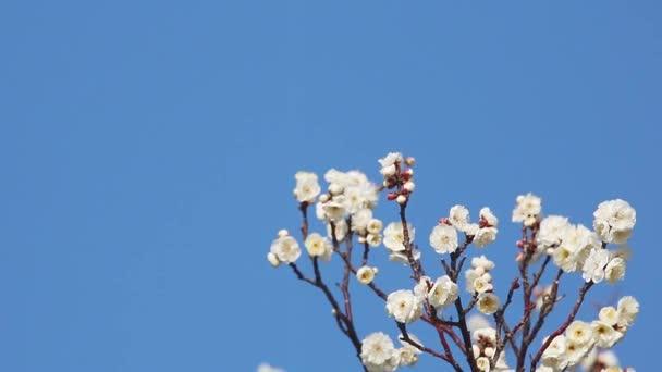 Kvetoucí meruňkové stromu na jaře s bílými krásné květy. Sezónní přirozená.