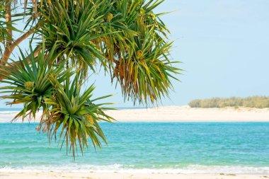 Pandanus tree or screw pine growing along the coastline.
