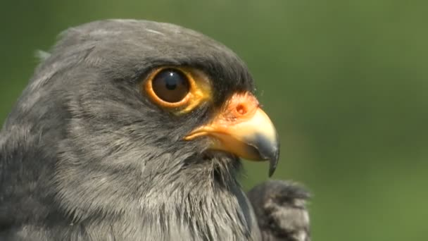 close up shot head of a grey bird common kestrel (Falco tinnunculus)