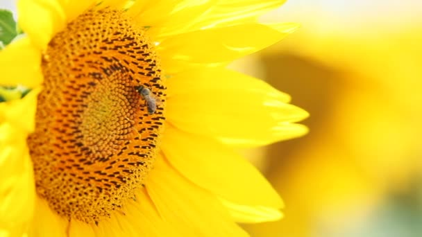 Little bee collect nectar from sunflower pollen