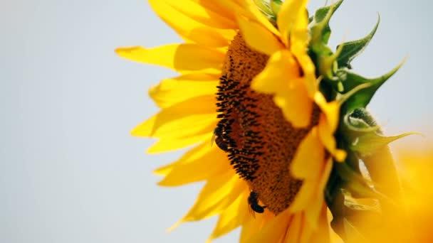 Jediného slunečnice s dvěma včely