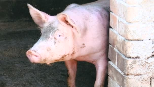 the domestic pig standing at the entrance to the pigsty and the other pig you see a muzzle