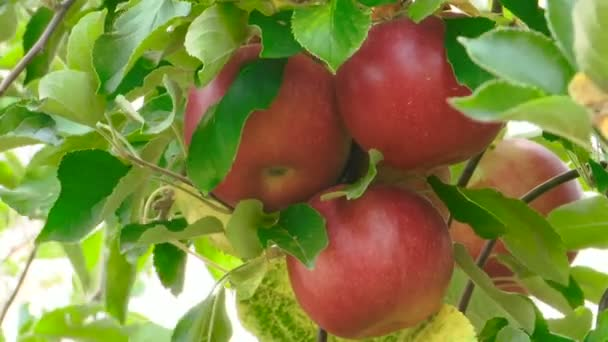 Red fresh apples on the tree.Close view of apple fruits