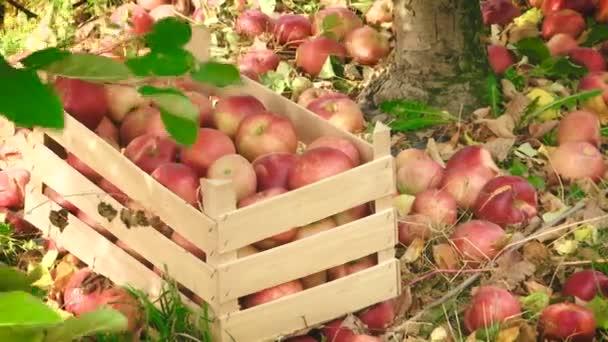 bednu plnou jablek a jablek se válí na zemi v sadu