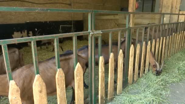 Braune Ziegen im Stall hinter dem Zaun