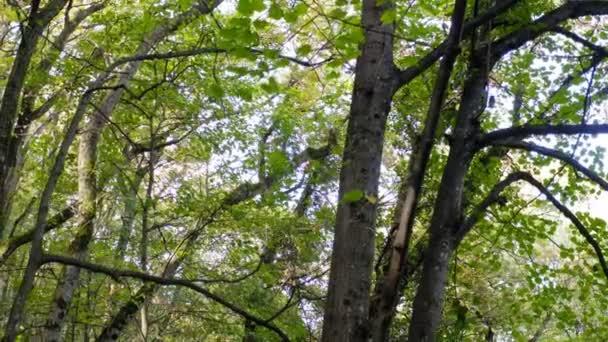 Flug mit einer Drohne an einem hohen Baum in einem dichten Wald in der Nähe des Ausblicks des Berges an einem schönen und sonnigen Herbsttag
