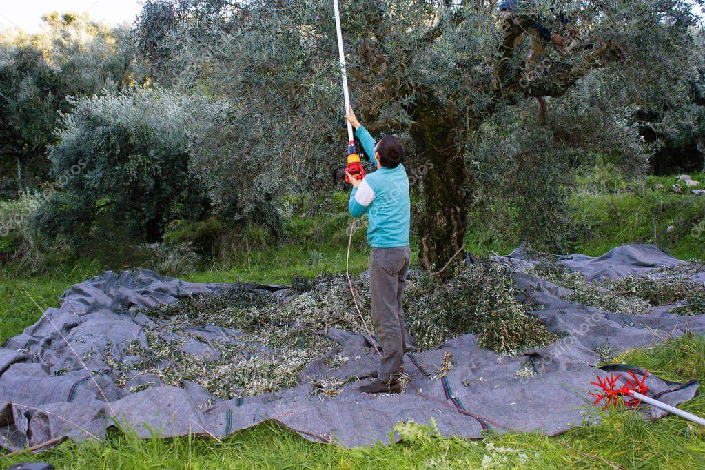 Olive harvesting in Kalamata, Peloponnese region, southwestern Greece.