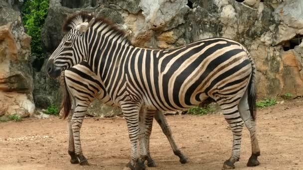 Két zebrák állandó közel vannak egymáshoz, a natureuntitled projekt