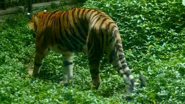 Selvatica minacciate di estinzione grande tigre camminare vicino a erba