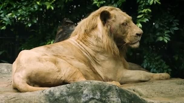 Close-up of old large white Lion in nature
