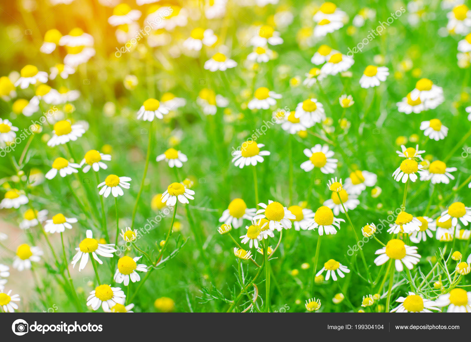 Field Chamomile Close Beautiful Meadow Sunny Day Summer