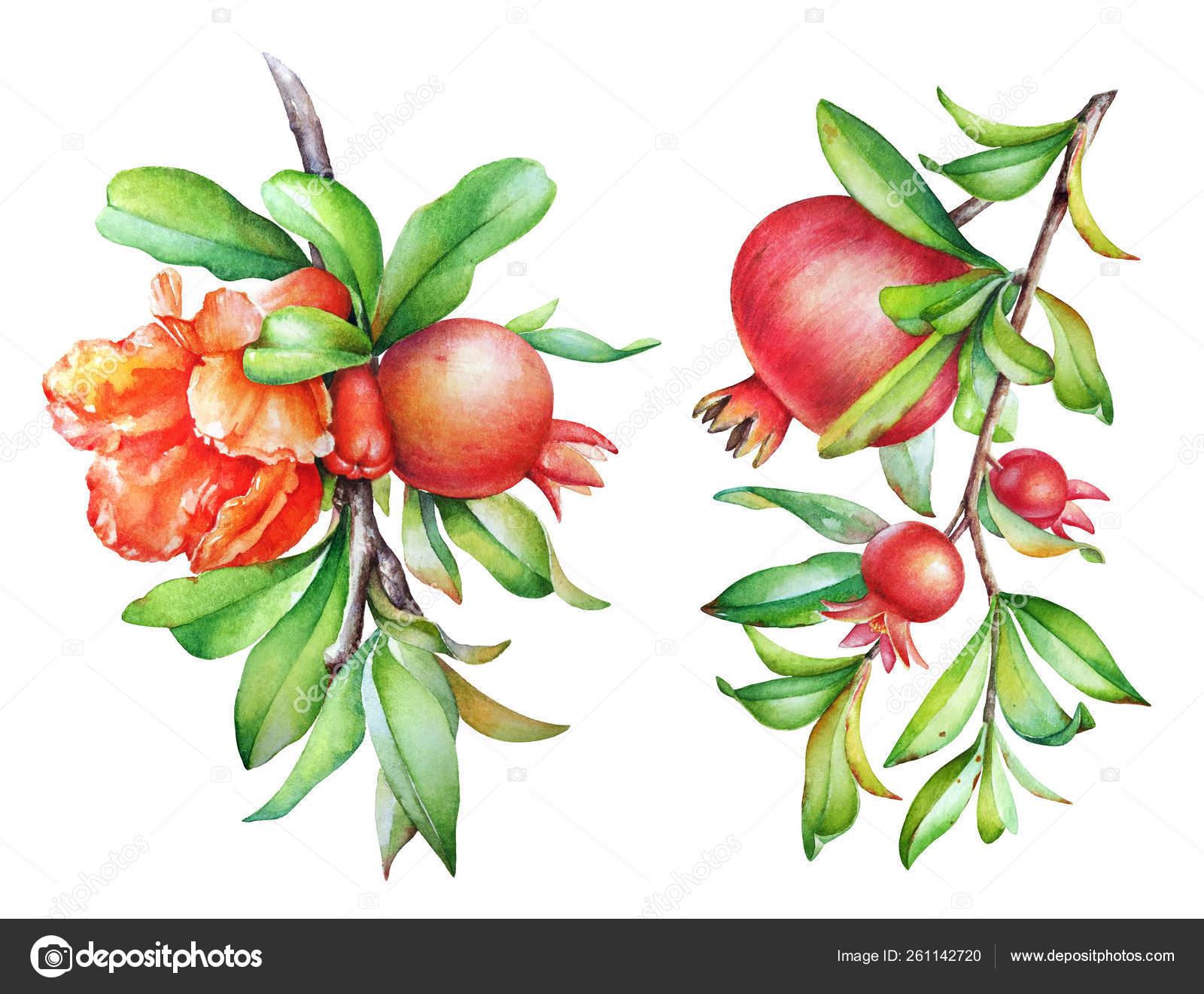Watercolor Illustration Pomegranate Tree Branches Fruit Green Leaves Isolated White Stock Photo Image By C Lyubovtolstova 261142720