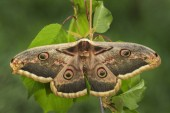 Nagy páva moly - Saturnia pyri, szép nagy lepke, Európa, Csehország.
