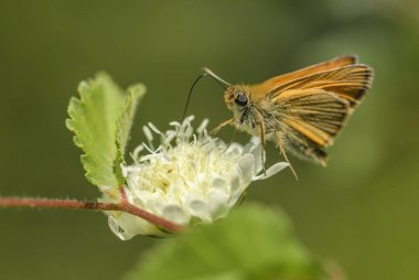 Essex Skipper - Thymelicus lineola, beautiful small orange butterfly from European meadows, Eastern Rodope mountains, Bulgaria.