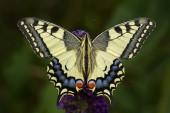 Régi világ fecskefarkú butterfly - Papilio machaon, gyönyörű színes ikonikus pillangó, az Európai rétek, füves területek