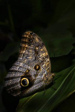 Giant owl butterfly  - Caligo memnon, beautiful large butterfly from Central America forests.