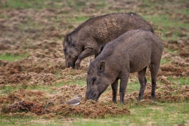 Indian Wild Boar - Sus scrofa cristatus, large mammal from Sri Lanka fields and forests.