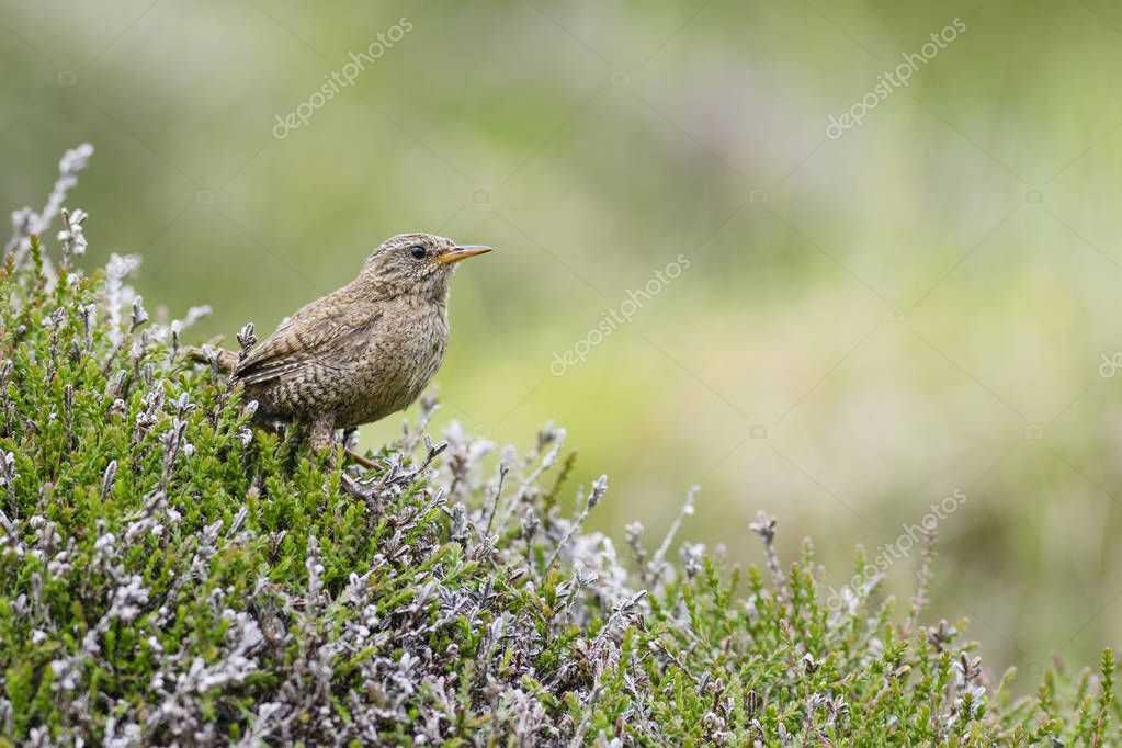 Eurasian Wren - Troglodytes troglodytes, small brown perching bird from European meadows and grasslands, Shetlands, UK.