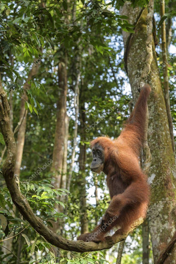 Sumatran Orang-utan - Pongo abelii, hominid primate from Sumatran forests, Indonesia.