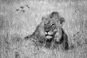 Lva - Panthera leo, kultovní zvíře z africké savany, národní park Etosha Namibie.