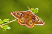 Uralkodó Moth-Saturnia Pavonia, gyönyörű ritka moly az európai erdők és Woodlands, Cseh Köztársaság.