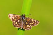 Chequered Skipper - Carterocephalus palaemon, malý hnědožlutý tečkovaný motýl z evropských luk, Zlín, Česká republika.