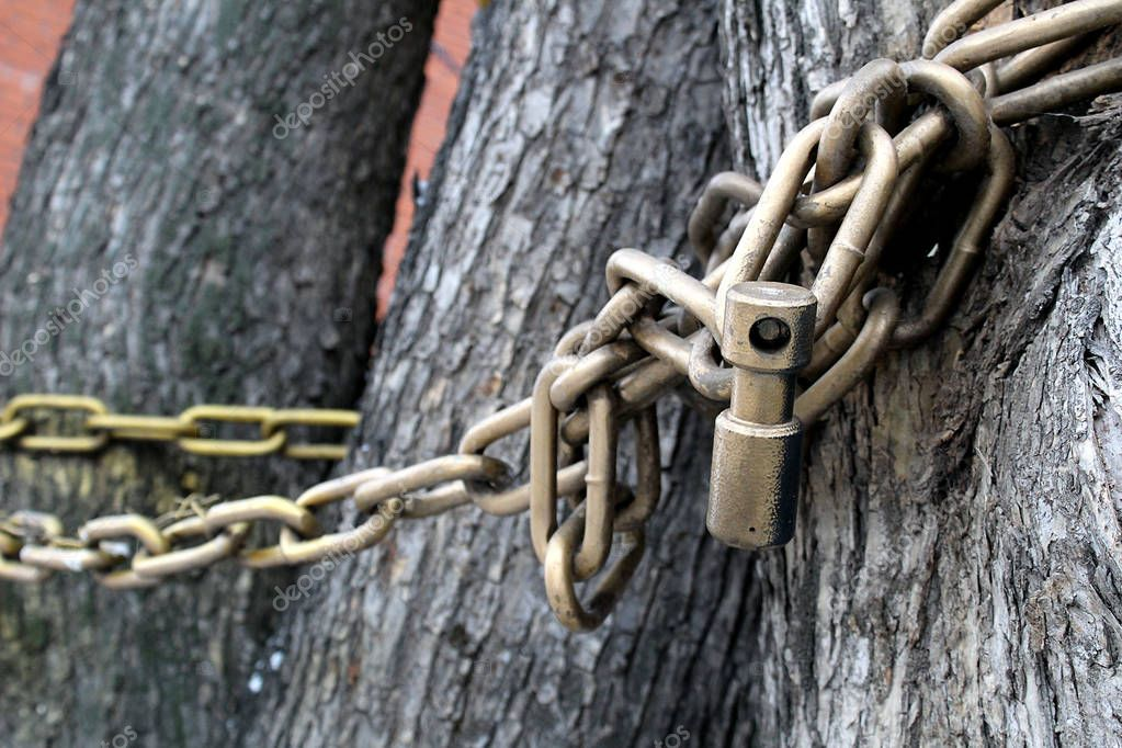 the tree is entwined with a large chain and locked