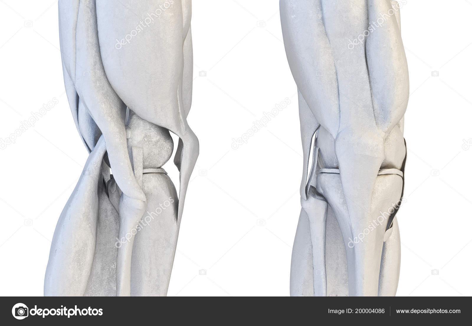Human Knee Joint Set 3d Illustration Stock Photo Automotive