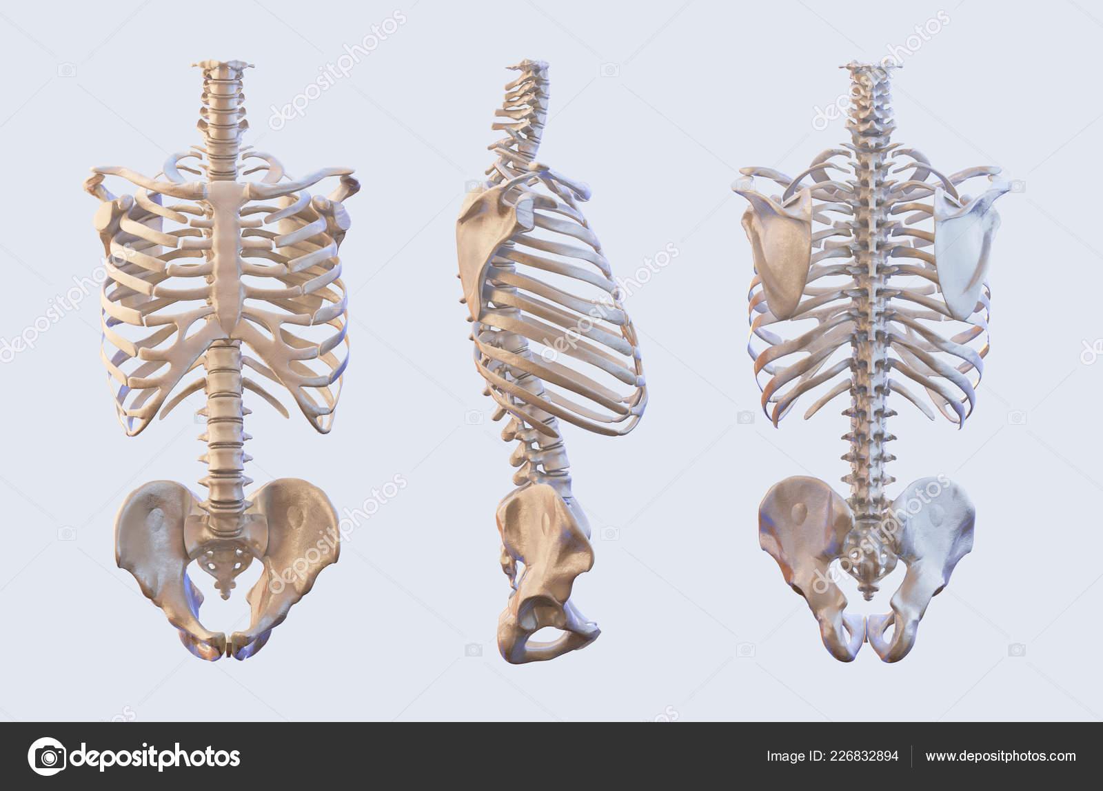 Human Skeleton Vertebrae Anatomy Spine Stock Photo Automotive