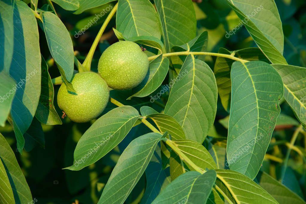 Growing on the tree unripe walnut green.