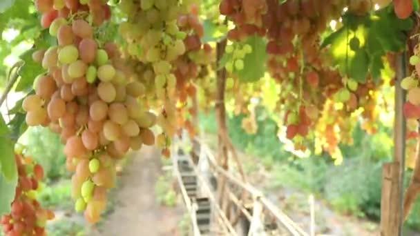 Juicy bunch of red grapes with sunlight on the vineyard farm