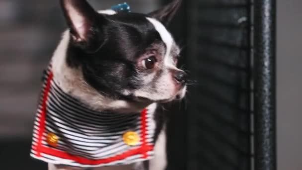 Fitness motiváció vicces vicc. kis kutya öltözött, mint egy tengerész goes-ra egy taposómalom. Hűvös Szúró kisállat. Videofelvétel. Elölnézet.