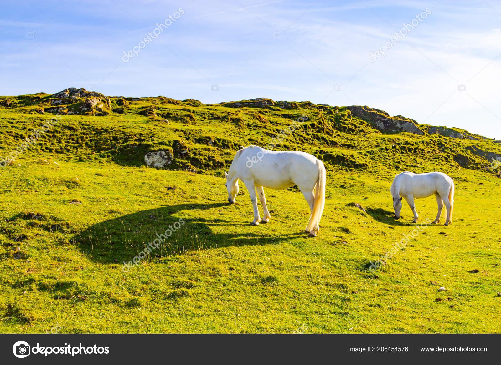 Pics Two White Horses Two White Horses Farm Field Clifden Ireland Stock Photo C Lltrarbach 206454576
