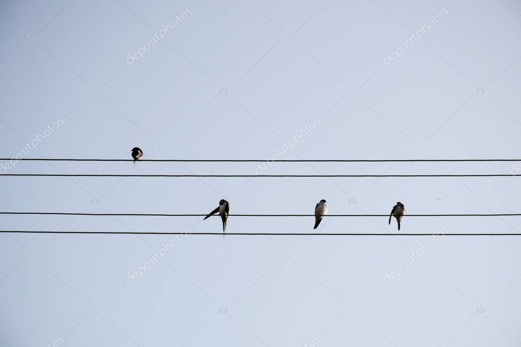 Swallows on Electric Lines, Blue Sky as Background