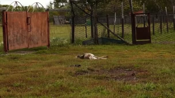 Greyhound lying in the grass